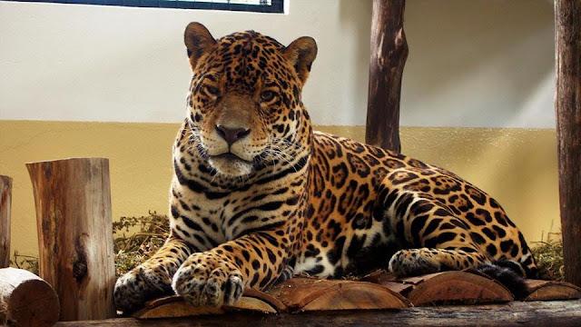 """Resultado de imagen de ejemplar """"Chiqui"""" al Centro Experimental de Cría de Yaguareté en Parque Iberá."""