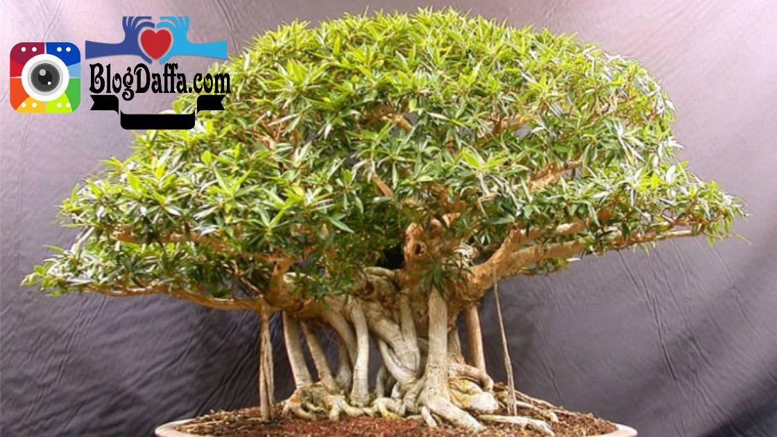 Cara merawat bonsai beringin