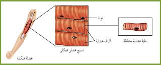 العضلات الهيكلية