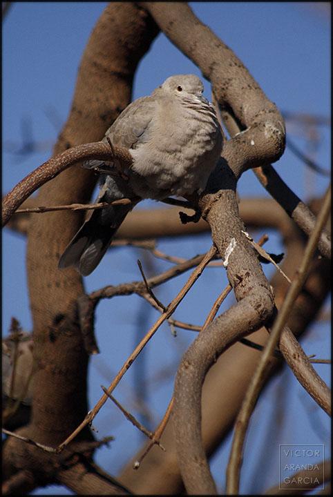 Fotografía de una tórtola posada en la rama de un árbol en Valencia