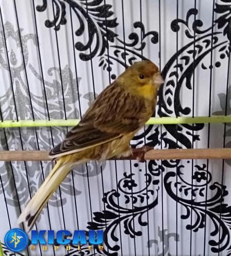cara merawat burung kenari sehari hari