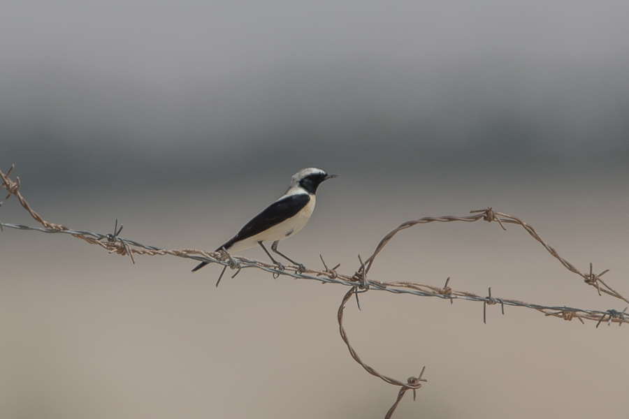 Seven species of Wheatear – Jebal Hamrah