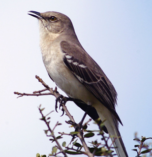 Burung northern mockingbird,si burung peniru handal dari Amerika