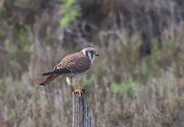 American Kestrel. Imperial Beach, California