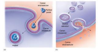 Transpor vesikel. (a) Endositosis, (b) Eksositosis