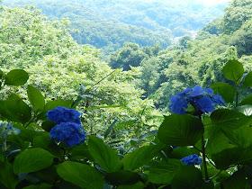 葛原岡神社のアジサイ