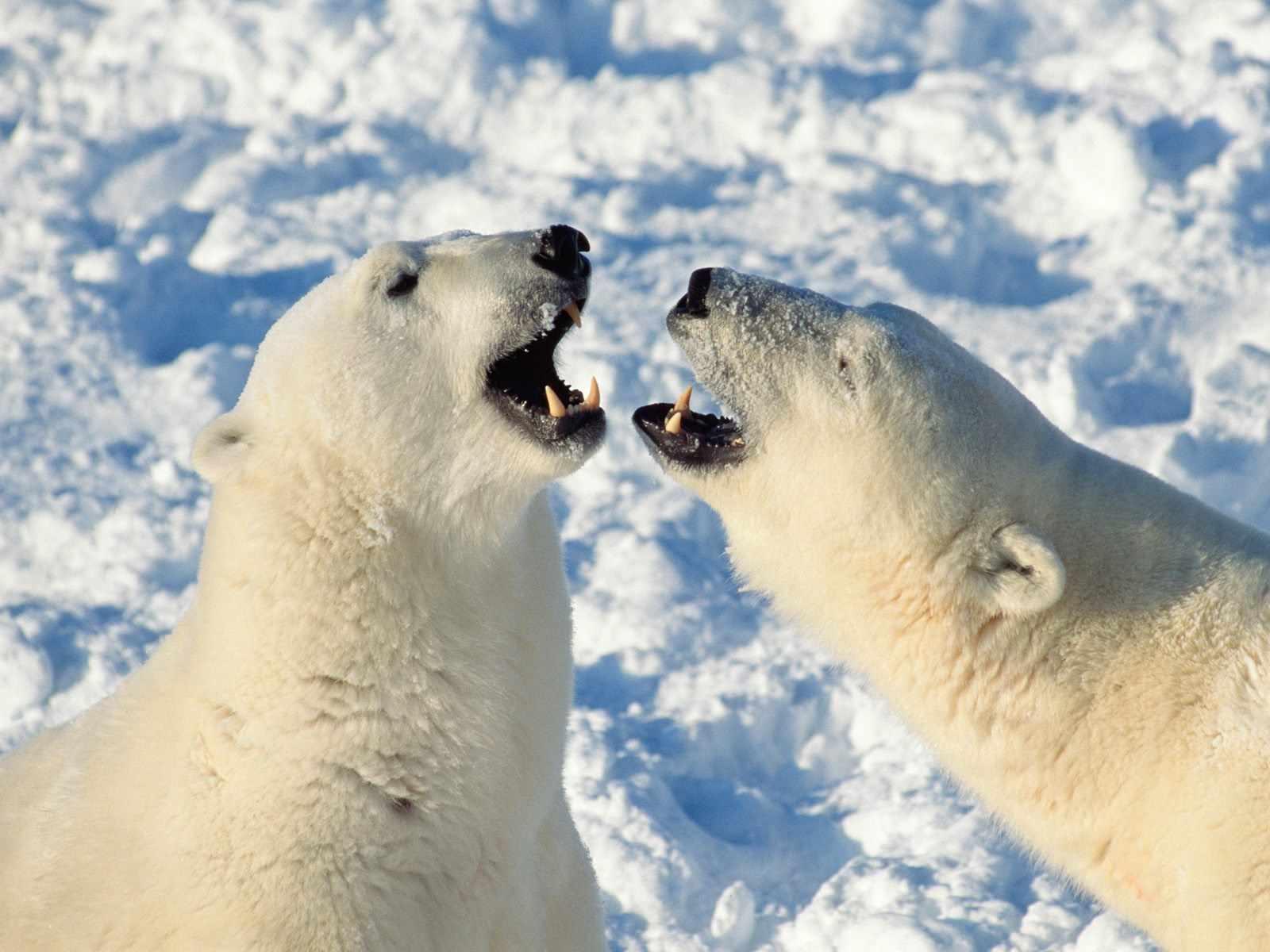 Osos Osos Polares Wallpapers Hd Fondos Bear