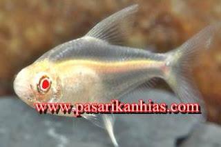 Jual Ikan Hias Neon Tetra Albino Murah