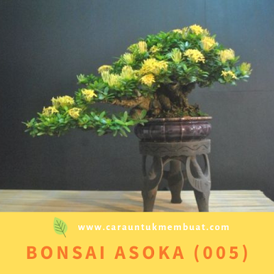 Bonsai Asoka (005)