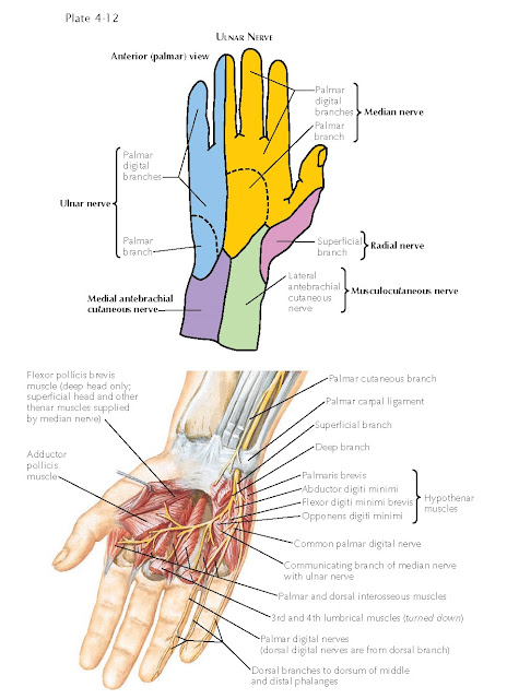 INNERVATION OF THE HAND