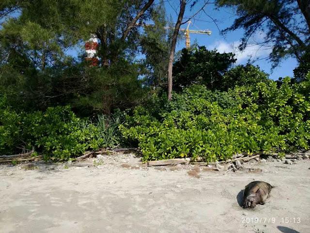 bangkai lumba-lumba di pantai bengkulu ditemukan