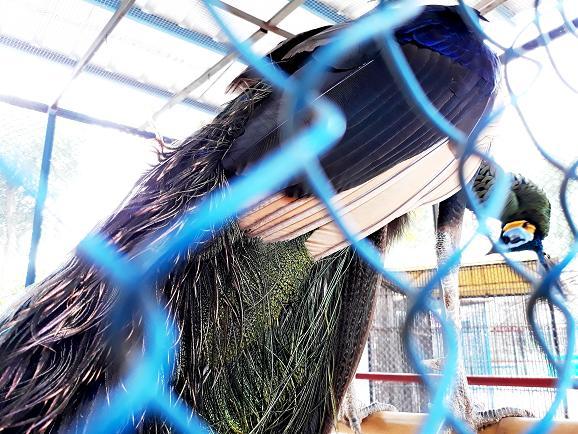 Burung Merak di Kebun Binatang Bumi Kedaton