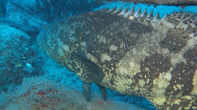 Goliath Groupers and other sealife
