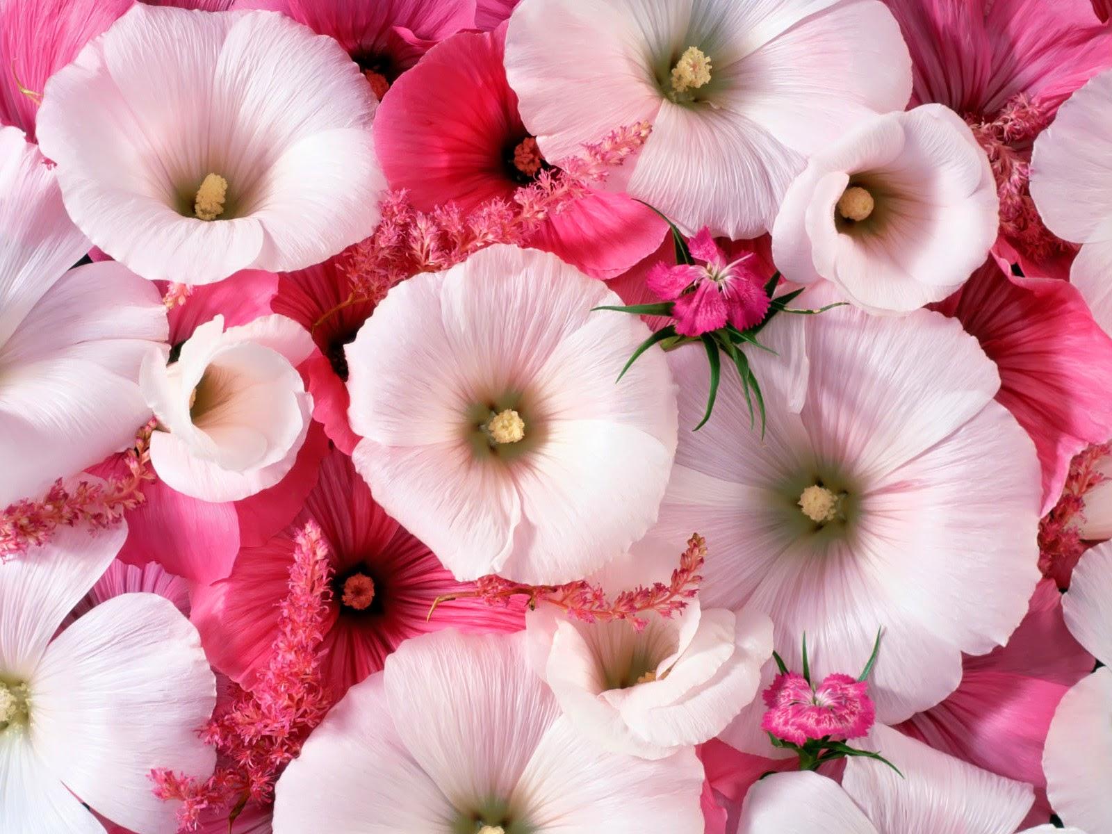 Gambar Bunga Romantis Bunga Sepatu Cantik