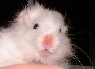 Hamster-Fotograflari
