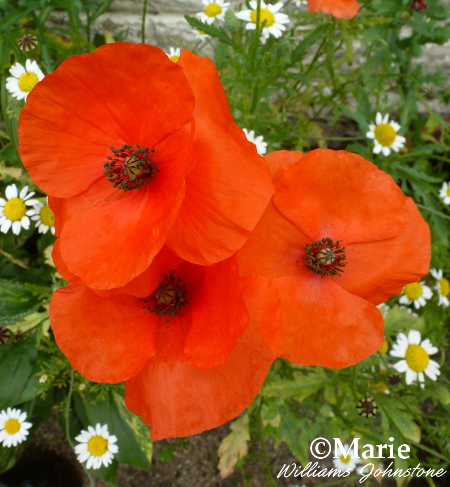 Trio of poppy flower blooms in red