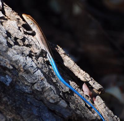 Trachylepis margaritifera