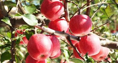 Sekai Ichi Apel