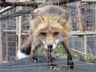Soper Creek Wildlife Rescue Red Fox.