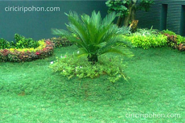 Ciri Ciri Pohon Rumput Gajah Mini