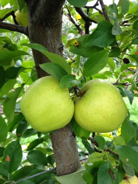 beilke family farm oregon apples u pick from the farm september 2013. Black Bedroom Furniture Sets. Home Design Ideas