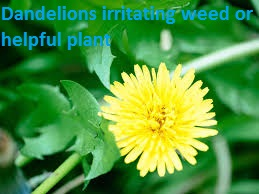 Health News,dandelion,dandelions,weed control,weed,weeds,lawn weeds,dandelion greens,gardening,lawn weed killer,garden weeds,weird plant,weed killer,how to kill weeds,yard weeds,edible weeds,garden,nourishing plant,spraying weeds in lawn,kill weeds,dandelion tea,dandelion root,dandelion wine,dandelion song,getting rid of weeds in lawn,lawn weed control,identifying weeds,dandelion root tea,strong weed killer,garlic mustard weed,health news,health,news,latest news,breaking news,wisconsin helath news,v6 telugu news,world health organization,ui health,lung health,royals news,mu health system,good health,ani news,otv news,odisha latest news,employee news,kaiser health,public health,mental health,fake news,melbourne news,news; health; western sydney; healthcare; nursing,odisha news,latest india news,sydney news,telugu news,health scinece colleges