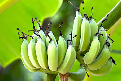 Are Plantains Bad for Dogs, Are plantains poisonous, Can dogs eat plantain chips