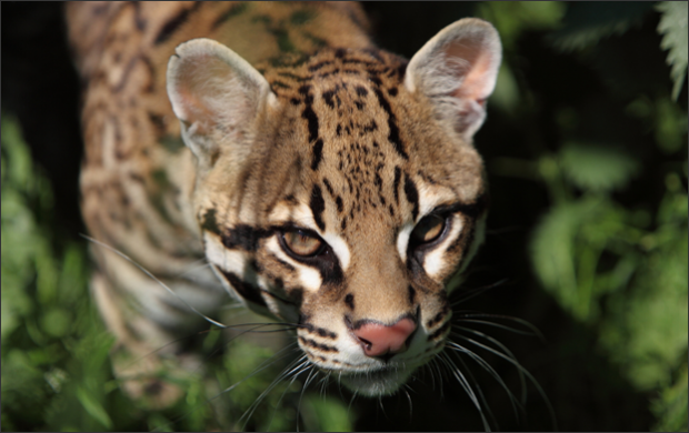 Do Ocelots Swallow Their Food Whole