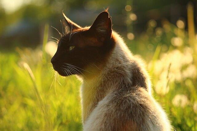 gatto siamese quanto vive
