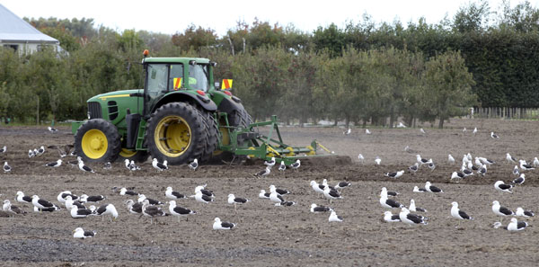 Seagulls wait in the dirt as a tractor ploughs a paddock on the corner of Pakowhai Rd and the Hawke's Bay Expressway, Napier. photograph