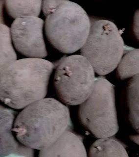 4 faktor utama keberhasilan dalam budi daya kentang
