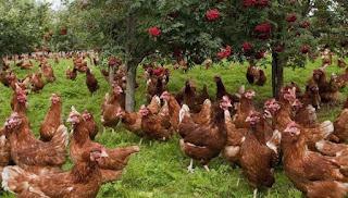 Yumurta Cinsi Tavuk