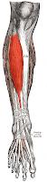 jambier antérieur