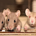 कनाडा के बारे में कुछ रोचक बातें, यहां चूहा पालने के लिए भी सरकार से लेनी पड़ती है इजाजत