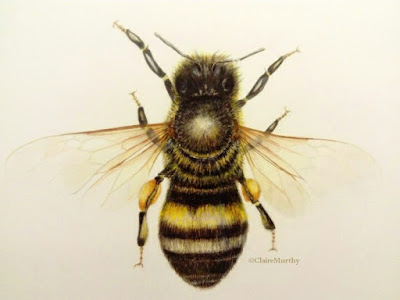 Drawing of a bee. Wildlife Artist.