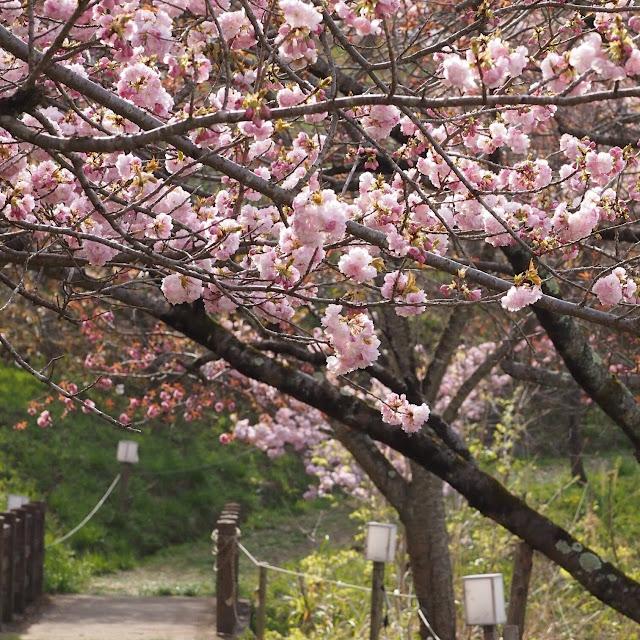長瀞 通り抜けの桜