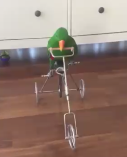 Funny pictures of parrot cycling