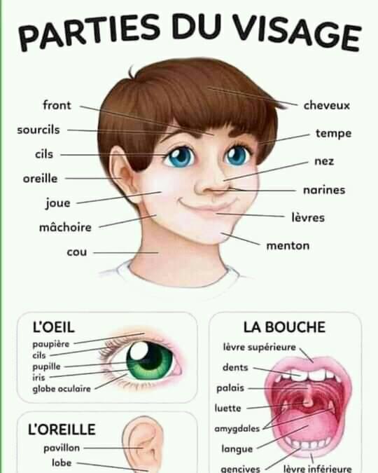 اعضاء الوجه بالفرنسية