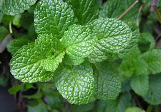 cara budidaya daun mint