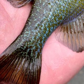 Redspotted Sunfish, Hybrid Sunfish, Redbreast Sunfish, Sunfish, Fly Fishing for sunfish, sunfish in texas, San marcos River, Fly Fishing the San Marcos River, Fly Fishing in San Marcos, Texas Fly Fishing, Fly Fishing Texas, Texas Freshwater Fly Fishing, Pat Kellner, TFFF