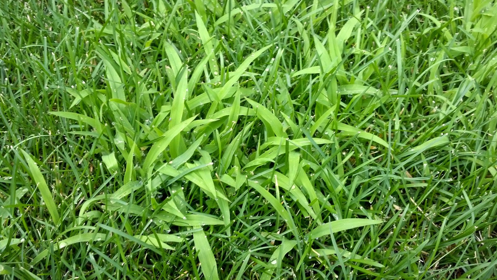 Well-known CO-Horts: Weed of the Moment: Crabgrass and its look-alikes TW53
