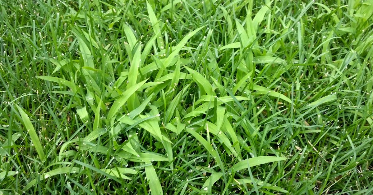 Co Horts Weed Of The Moment Crabgrass And Its Look Alikes