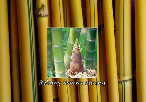 Manfaat Rebung Bambu Kuning Untuk Batu Ginjal