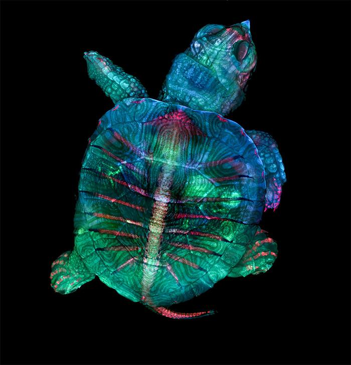 1st place: Fluorescent turtle embryo in fivefold increase