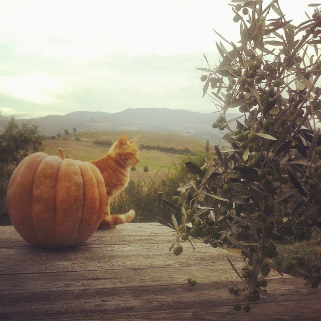 A table, an orange cat and a pumpkin under a branch of an olive tree