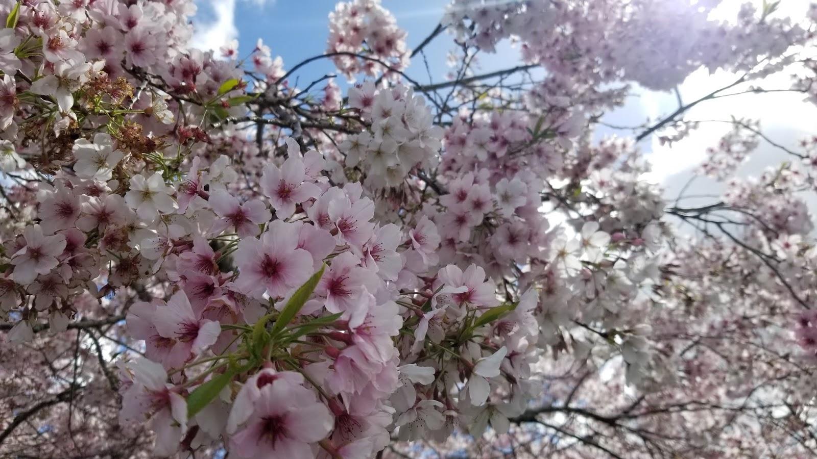 【紐西蘭 | 北島自由行2020】奧克蘭市中心30分鐘車程 奧克蘭植物園Auckland Botanic Garden 感受櫻花盛放的美境 齊來 ...