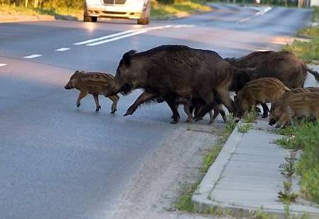 Θεσπρωτία: Αγριογούρουνα στους δρόμους της Θεσπρωτίας...