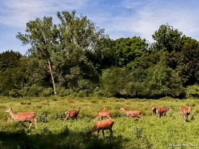 Parque de Salburua, manada de ciervos