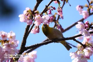 桜の蜜を吸うメジロの写真