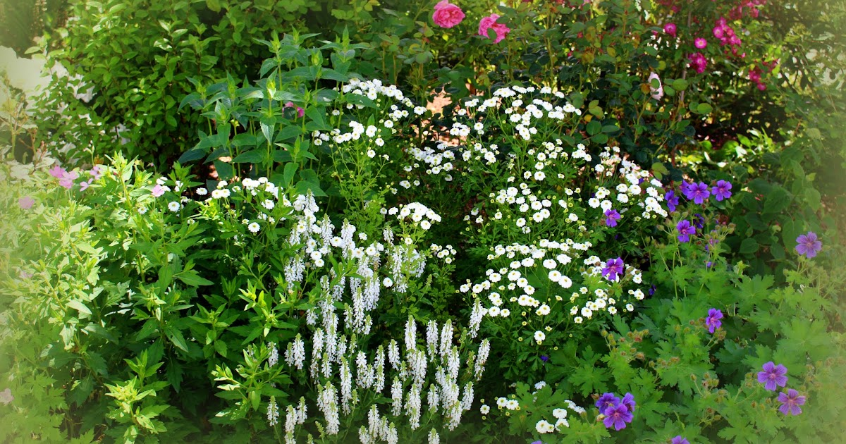 Roses du jardin ch neland sauge salvia nemorosa schneeh gel - Beau jardin rose and geranium ...